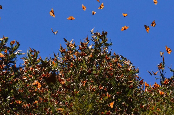 Monarch butterflies flying