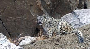 Snow Leopards and Conservation Travel in Ladakh, India