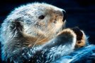 Ten Facts About Sea Otters