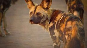 African Wild Dogs and the Necessity of Wildlife Corridors