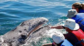 Post-Pandemic, Learning to Trust Again from a Gray Whale