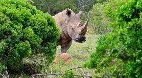 How Should Rhinos Be Relocated? Upside Down.
