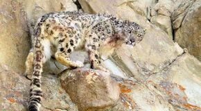 Video: The Somewhat Noble Call of a Snow Leopard