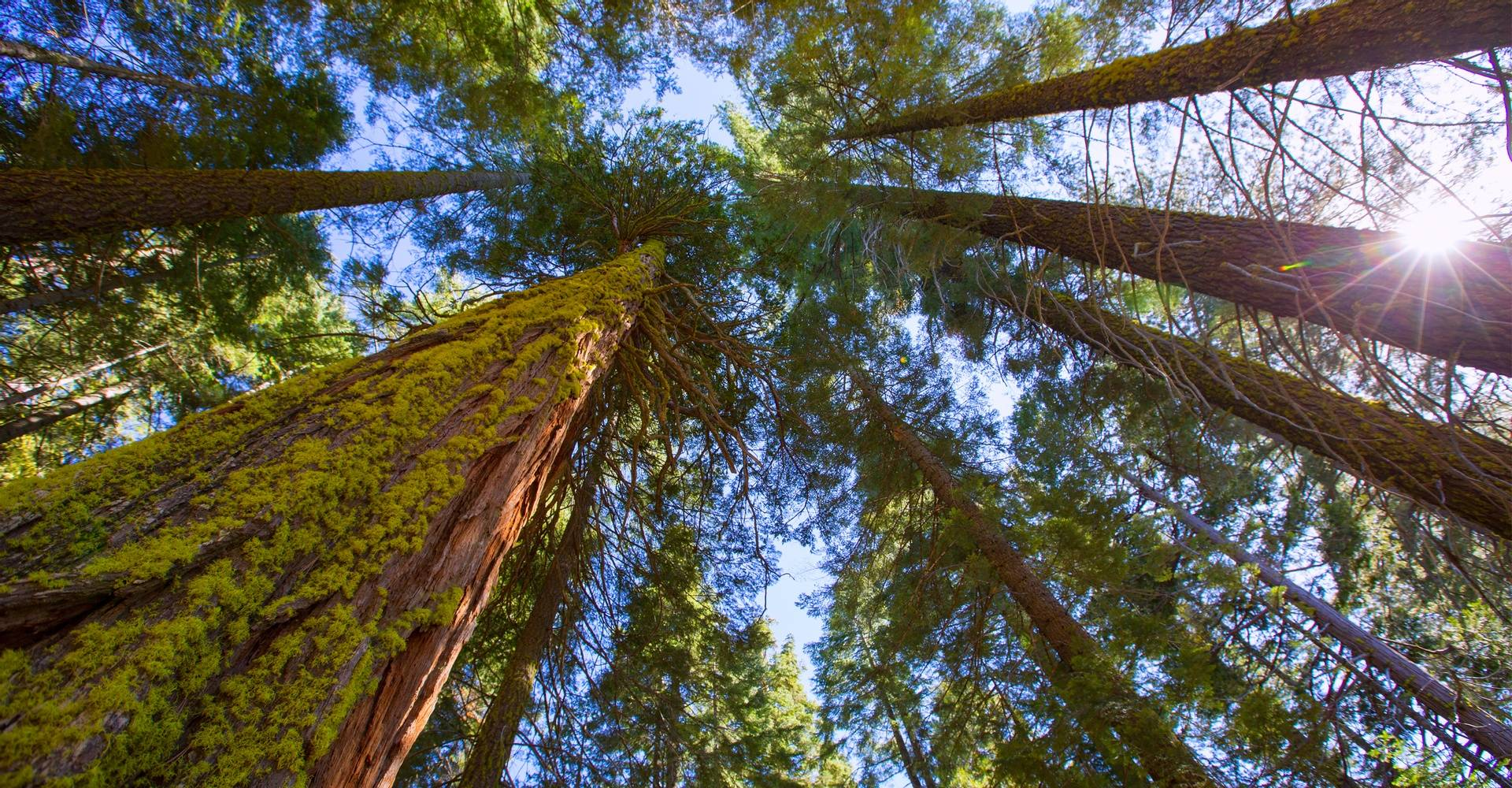 Ancient sequoia groves in Yosemite National Park.
