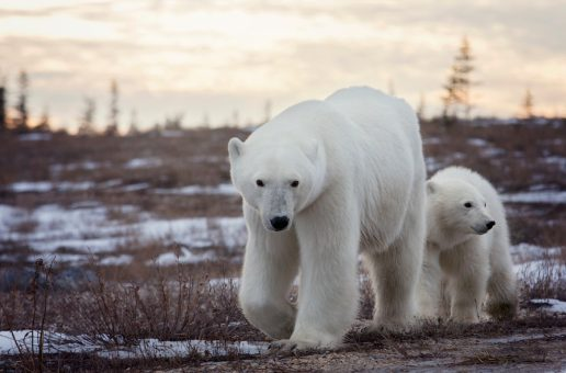 Canada is Opening (and the Polar Bears are Waiting)