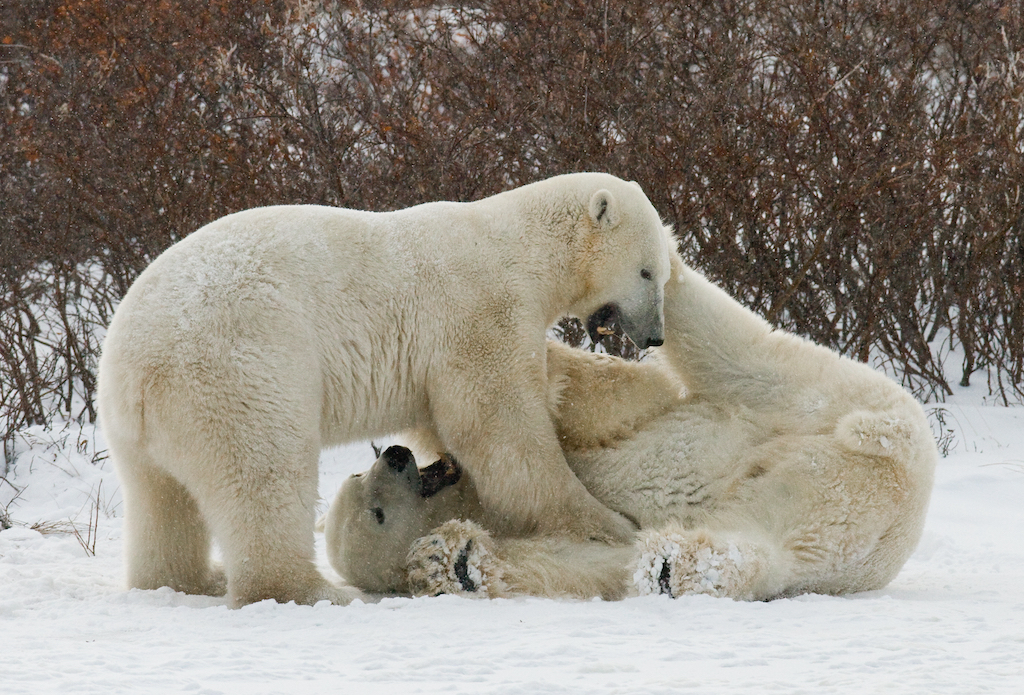 Two polar bears playing with each other in the tundra.