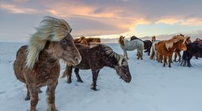 Taking on the Tolt on an Icelandic Horse