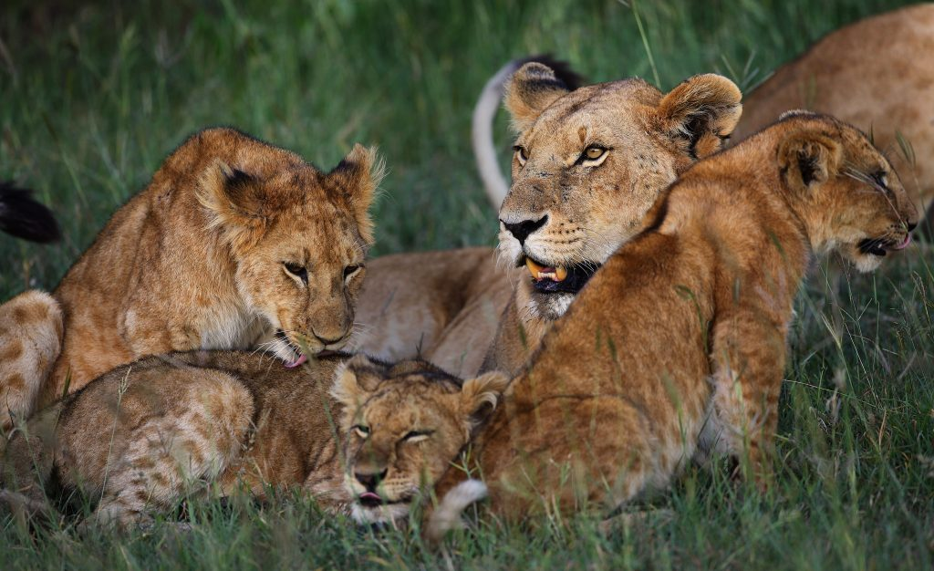 A lioness with cubs in Kenya
