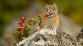 Good News: Pikas Now Predicted to Persist