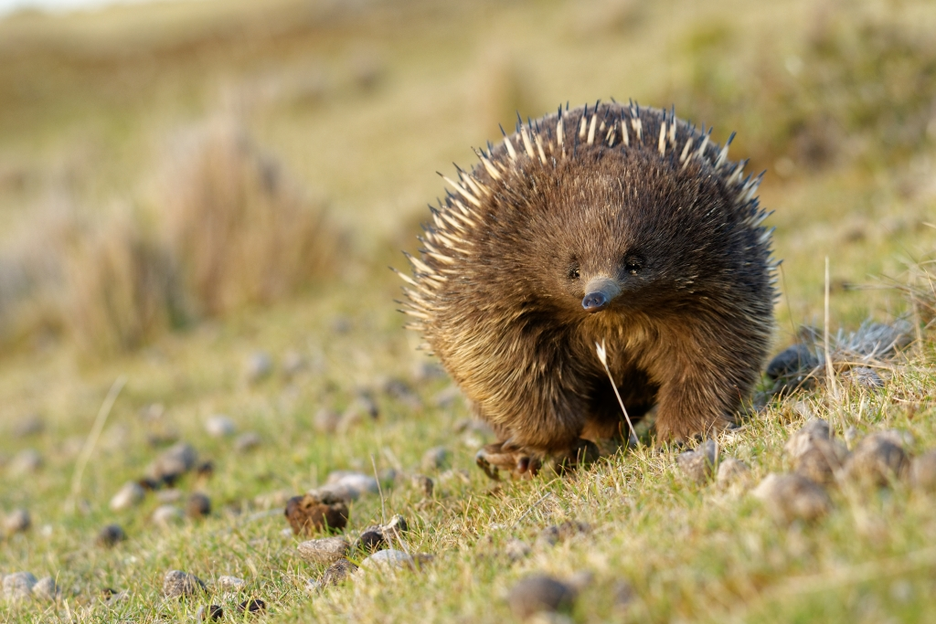 An echidna in the Australian outback.