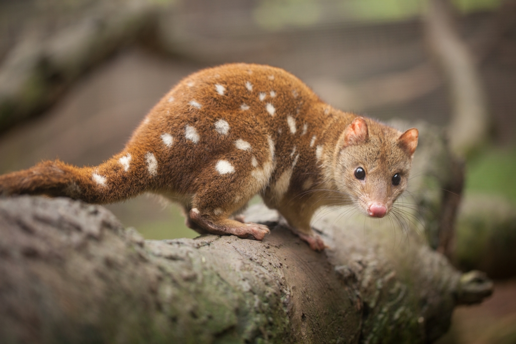A spotted-tail quoll, also known as a tiger quoll, in Southern Australia.