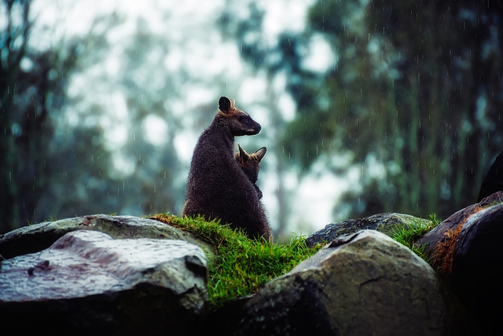A wallaby and baby in the rain in Southern Australia.