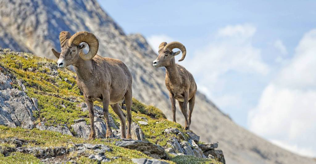 Bighorn sheep can be found throughout the mountain ranges of Canada's national parks.