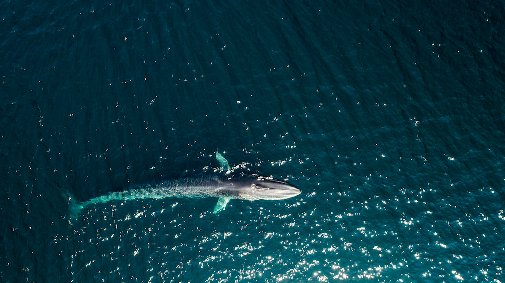 aerial of fin whale