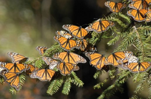 13 Facts About Monarch Butterflies in North America