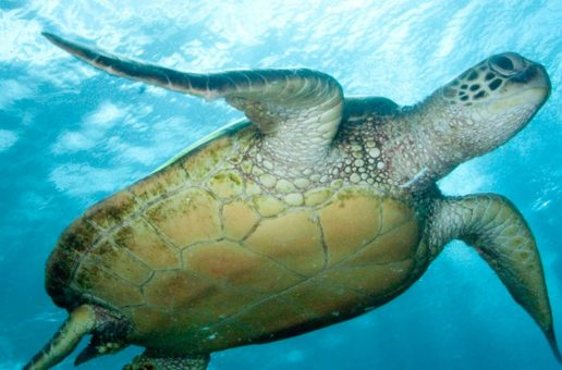 13 Fascinating Facts About Green Sea Turtles