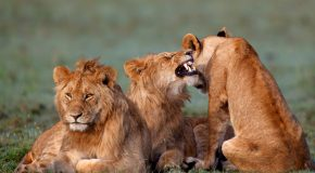 Searching for the Lions of Botswana